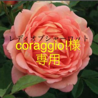 人気品種 ✽⋆*.⋆* オレンジカップ咲き ✽⋆*.⋆*バラ苗❣️(その他)