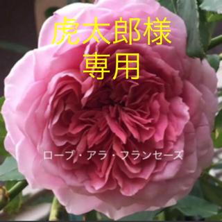 虎太郎様専用 【訳あり】クラシカルなバラ ロゼット咲き❣️挿し木苗✽⋆*.⋆*(その他)