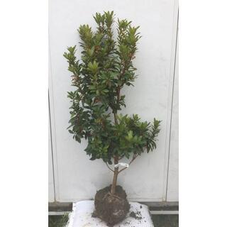 《現品》イチゴの木(ストロベリーツリー)樹高1.2m(根鉢含まず)28【苗木】(その他)
