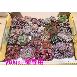 yuki815様専用韓国多肉ルノーディン錦入27苗セット❤個装、お名前つけます(その他)
