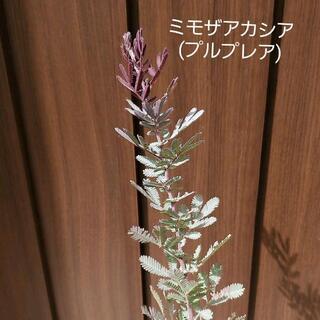 ミモザアカシア(プルプレア) ポット苗34 観葉植物 シンボルツリーに♪(プランター)