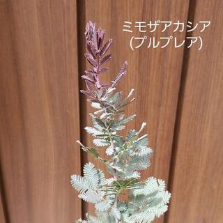 ミモザアカシア(プルプレア) ポット苗35 観葉植物 シンボルツリーに♪(プランター)