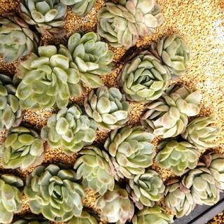 韓国苗 エケベリア ピンクネーション 双頭 群生 多肉植物(その他)