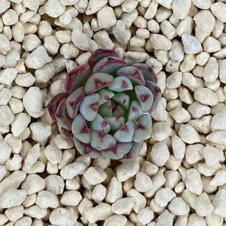多肉植物 ブルーミニマ 多肉 韓国苗 4 微根 抜き苗 新根出てます(その他)