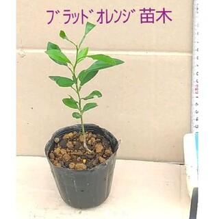 ブラッドオレンジ(モロ種)の実生2年生ポット苗・・全高 : 約22cm↑↓(その他)