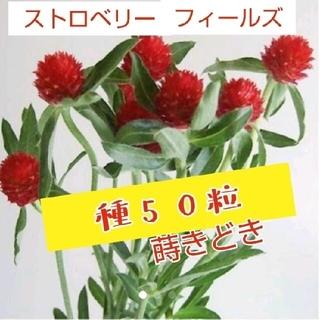 千日紅 ストロベリー・フィールズの種(プランター)