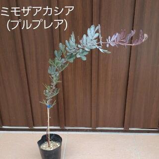 ミモザアカシア(プルプレア) ポット苗36 観葉植物 シンボルツリーに♪(プランター)