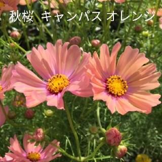 秋桜  40粒以上  オレンジキャンパス  花種(プランター)