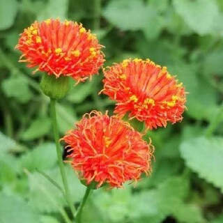 花種カカリア(その他)