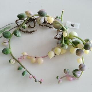 ⑯ 白玉 ピンク グリーンネックレス斑入り 苗 寄せ植え(その他)