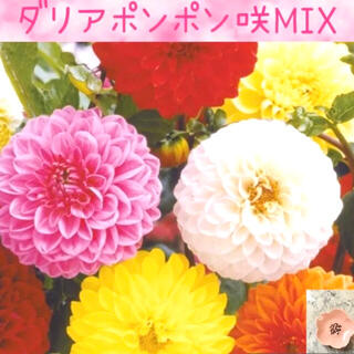 コロンとかわいい♡『ダリアポンポン咲MIX』花の種20粒(その他)