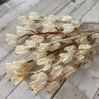 ドライフラワー ウバユリの殻 ホワイト5本(ドライフラワー)