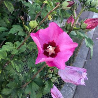 ムクゲ ピンク 去年取れた種  50粒 庭木 花木(その他)