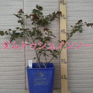 【品種名】ダムドゥシュノンソー3年生苗(その他)