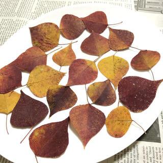 ナンキンハゼの葉 ドライリーフ ナチュラル 押し葉 紅葉 自然 素材 K(ドライフラワー)