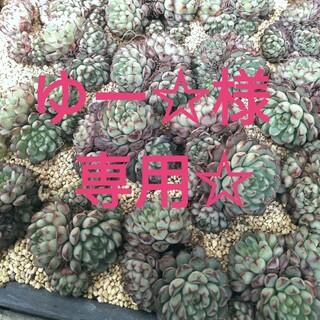 ゆー☆様専用☆多肉植物(その他)
