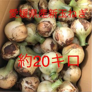 新玉ねぎ 極早生 無農薬 愛媛県産 約20キロ(野菜)