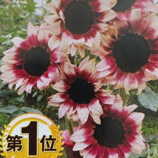 花の種      ひまわりプロカットプラム(その他)