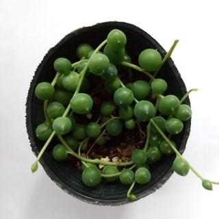 グリーンネックレス多肉植物(その他)