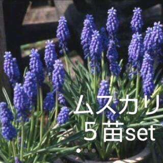 ムスカリ 5苗set(その他)