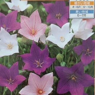 花の種     桔梗ミックス+桔梗ピンク+ブラックビューティー+バイカラー(その他)