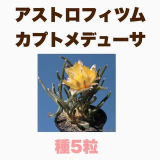 【種子5粒】アストロフィツム カプトメデューサ(その他)