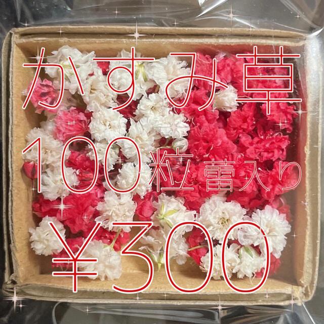 かすみ草 ドライフラワー レッド&ホワイトmix 蕾入り ハンドメイドのフラワー/ガーデン(ドライフラワー)の商品写真
