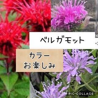 ベルガモット 花苗 3株set(その他)