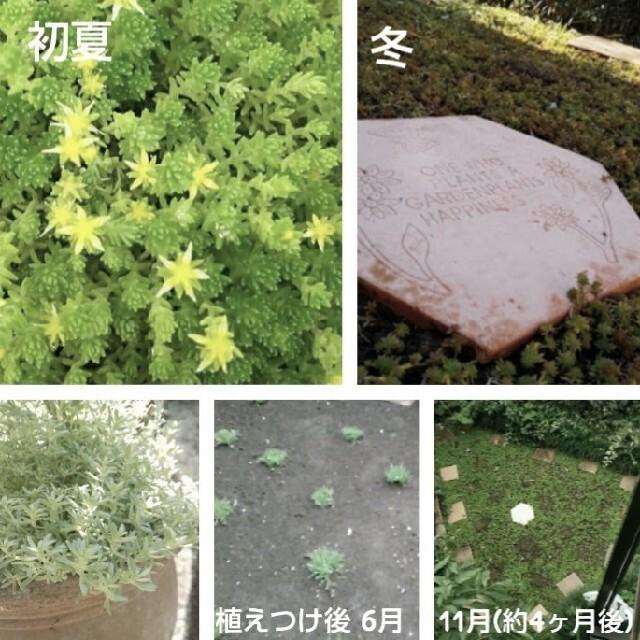 セダム モリムラマンネングサ 挿し芽 ばらまき用 &ミニミニリース ¥350 ハンドメイドのフラワー/ガーデン(その他)の商品写真