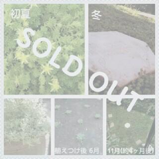 セダム モリムラマンネングサ 挿し芽 ばらまき用 &ミニミニリース ¥350(ドライフラワー)