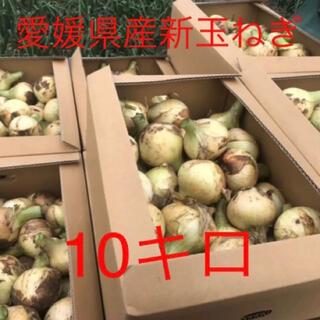 新玉ねぎ 極早生 無農薬 愛媛県産 約10キロ(野菜)