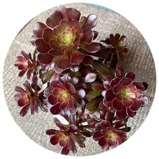 華やかな寄せ植え、多肉植物「黒法師(サンシモン)」12輪の6本立てです(その他)