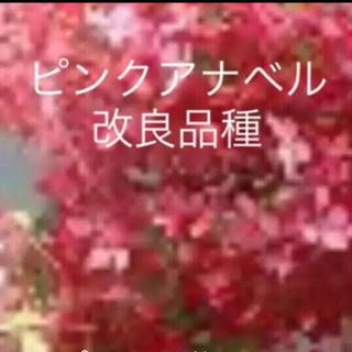 ★限定2★①ピンクのアナベル2★ピンクアナベル改良品種★(ドライフラワー)
