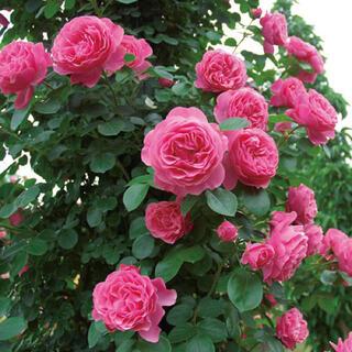 ♡つるバラ レオナルドダビンチ ♡可愛いピンクのバラ(その他)