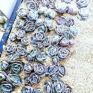 まるで青い薔薇 韓国苗 エケベリア ブルーサプライズ 多肉植物 群生(その他)