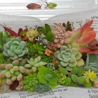多肉植物 カット苗・葉挿し40種セット(その他)