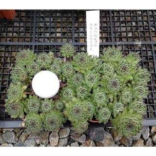 多肉植物 センペルビウム『グリーンヴァウト』カット苗(その他)
