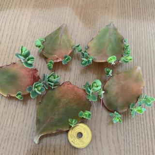 多肉植物 葉挿し 胡蝶の舞 寄せ植え (その他)