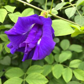 沖縄産無農薬栽培 八重咲きバタフライピーの種30粒以上(その他)
