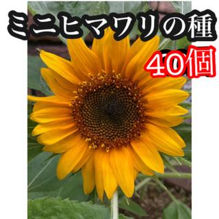ミニひまわりの種 40(その他)
