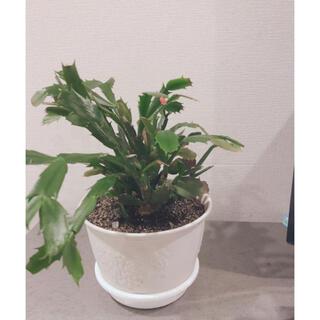 シャコバサボテン カット苗 2~3節×5本(その他)