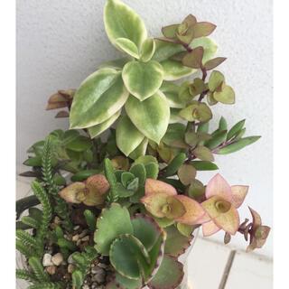多肉植物7種アロマティカス ルビーネックレス カリシアロザート若緑等抜き苗(その他)