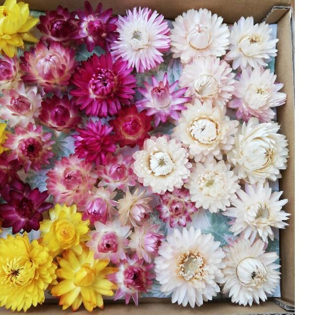 ヘリクリサム 貝細工 ミックスカラー 50個 ハンドメイドのフラワー/ガーデン(ドライフラワー)の商品写真