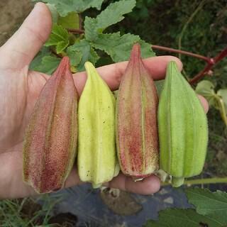 野菜の種 珍しいオクラの種 ダビデの星&ヒルカントリーレッド(その他)
