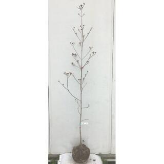 《現品》花水木(ハナミズキ)赤花 樹高1.8m(根鉢含まず)30【苗木/植木】(その他)