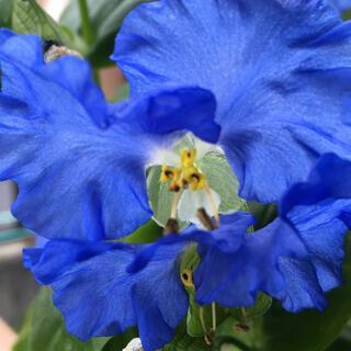 大帽子花の種子(その他)