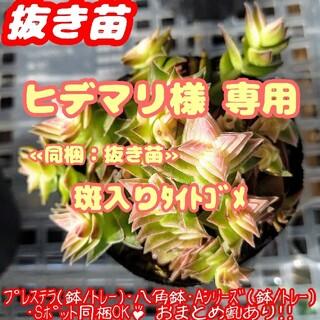 【抜き苗】茜の塔錦 他 多肉植物 クラッスラ 紅葉 プレステラ プラ鉢(その他)