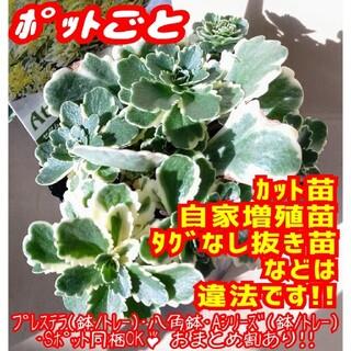 【ポットごと】アトランティス 多肉植物 セダム 紅葉 プレステラ プラ鉢(その他)