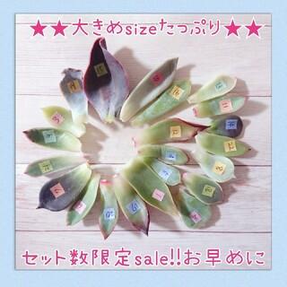 セット数限定!!お買い得sale!!多肉植物葉挿しセット(その他)