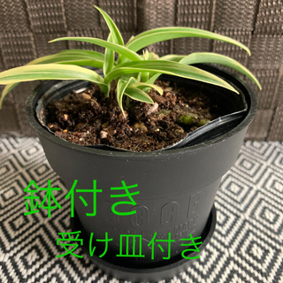 観葉植物 オリヅルラン 苗(その他)